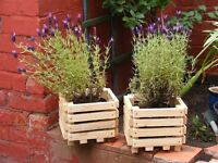 planters with lavenders