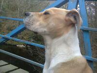 *£250*Loving Japanese akita/American bulldog cross bred puppy. GOOD TEMPERAMENT FRIENDLY AND LOVING