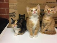 Bengal cross short haired kittens. Spotted markings