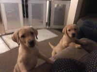 Ladbrador puppies Ready now