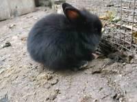 Bavy rabbits lionhead