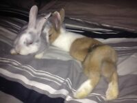 4 month old Dutch rabbit (brown and white)