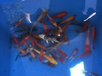 Mixed bag of pond fish koi goldfish orfe ect