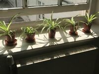 Lovely Indoor Spider Plants only £1 each Collect London Regent Street or Surbiton/Chessington KT9