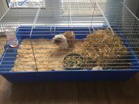 Guinea pig plus full set up