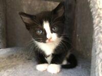 Kittens - Russian Blue/British Short Cross