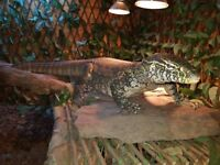 4ft, tame Nile monitor for sale (No Viv included)