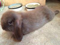 Pure bred Mini Lop baby for sale