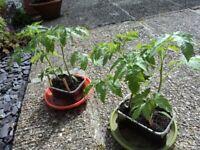 FOR SALE - TOMATO PLANTS - 50p PER PLANT.