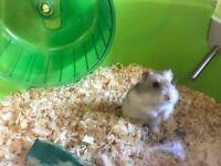 Russian dwalf hamsters