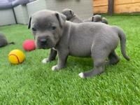 Lovely blue staff puppies for sale