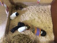 Well handled baby guinea pigs