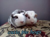 Pair baby boy brother guinea pigs :)