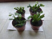 INDOOR PLANT FLOWERING CACTUS TRUNCATA