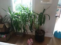 Large yucca plant and pot