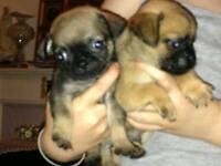 Pug puppy's l