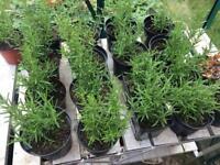 Rosemary ornamental plants
