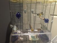 Three young male canarys each one with their cage just 40£