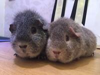 Two female Rex Guinean pigs for sale