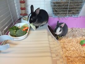Two dwarf rabbits (brothers) outdoor cage and indoor cage and everything else u need to last a while