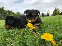 Mini Yorkie / Yorkshire terrier puppies