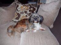shih tzu x chihuahua dog 2 years old