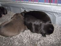 PUG PUPPIES for sale boys and girls black and chocolate