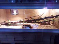 2 corn snakes