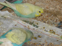 for sale baby budgies