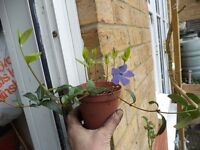A small pot of common periwinkle plants in flower now