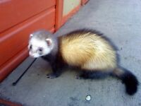 male polecat for sale
