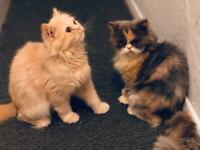 2 Loving Persian Rescue Cats surching for their loving forever home
