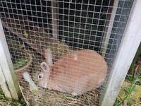 2 male rabbits and hutch