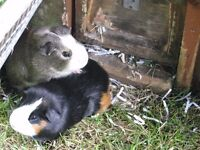 Two lovely Male Baby Guinea Pigs