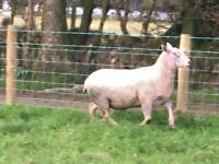 Charollais ram for sale