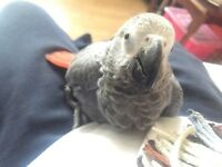 Hand reared Super Tame Baby African Congo Grey Talking Parrot