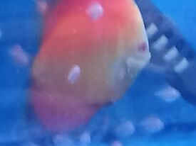 discus fish for sale from £10