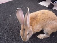 giant baby rabbits 7 left 4all white no marks 2 brown 1 light and one dark big ears