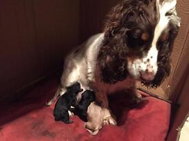 Show type cocker spaniel puppies Available 08April ONLY 3 LEFT TO BE RESERVED!