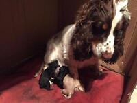 Show type cocker spaniel puppies Available 08/04/2017