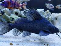 Featherfin squeaker catfish