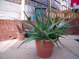 A Gigantic Aloe Vera Plant with Pot for Sale