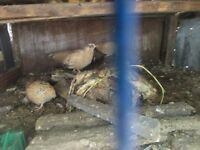 YOUNG QUAIL FOR SALE