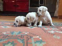 Polar Bear White, Fox Red and Black Labrador Puppies