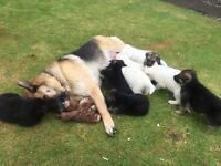 Beautiful German shepherd pups for sale