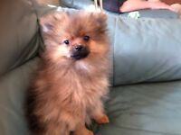 Purebred Pomeranian Puppies only male left needing Caring and Kind Pet Homes.