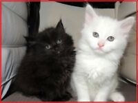 <><> Beautiful Siberian x kittens <><>