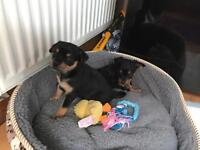 Chipin puppies (chihuahua cross pinscher miniature )