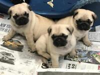 Pug puppies kc registered
