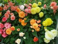 Begonia Named Exhibition Show Plants